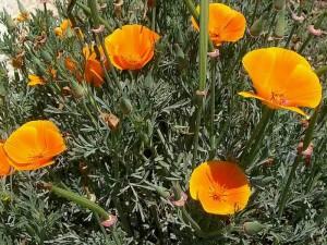 009-california-poppy