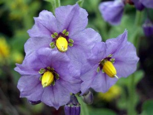 020-purple-nightshade