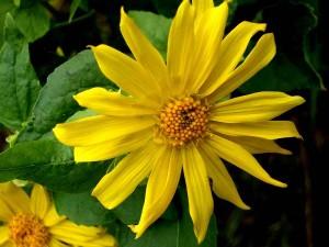 044-canyon-sunflower
