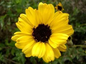 056-bush-sunflower
