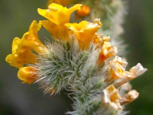 061-common-fiddleneck
