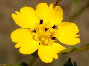 071-slender-tarweed