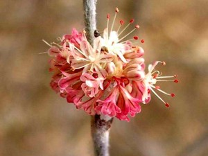076-wand-buckwheat