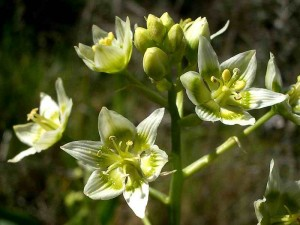 084-star-lily