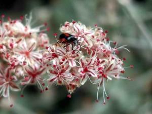 105-ashyleaf-buckwheat