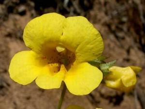 123-yellow-monkey-flower