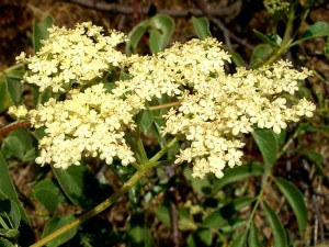 128-mexican-elderberry