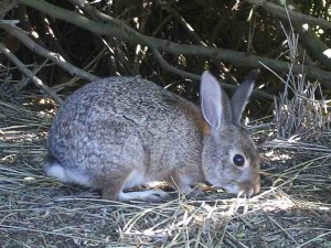 brush-rabbit