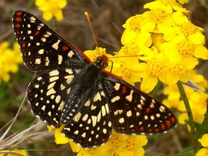 checkerspot-butterfly