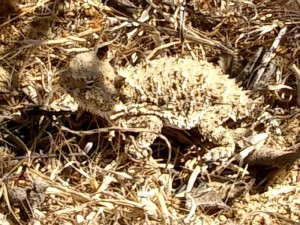 horned-toad