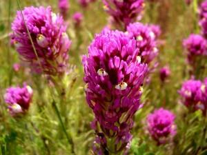070-purple-owls-clover
