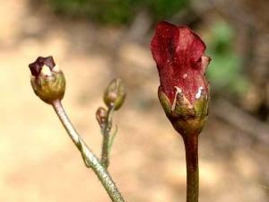 114-coast-figwort