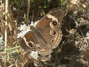 buckeye-butterfly