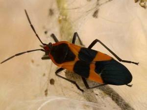 large-milkweed-bug