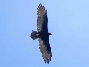 turkey-vulture