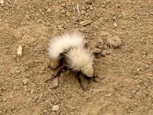 velvet-ant